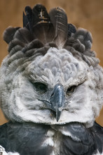 Portrait Of A Harpy Eagle