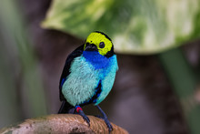 Paradise Tanager Sitting On A Branch Of A Tropical Tree While Looking For Food