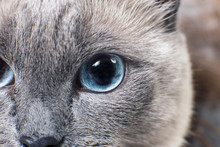 Gray Siamese Cat With Blue Eye...