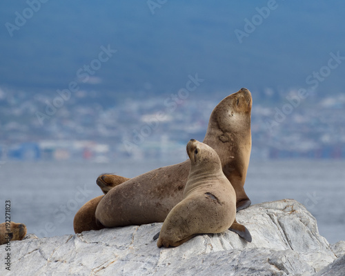 Foto op Aluminium Antarctica South American Fur Seals on a Gray Rock in the Beagle Channel with Ushuaia Argentina in the background.