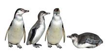 The Humboldt Penguin (Sphenisc...