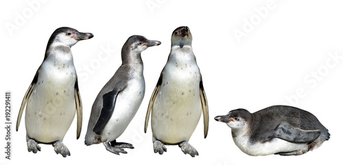 Foto op Aluminium Pinguin The Humboldt Penguin (Spheniscus humboldti) isolated on white background.