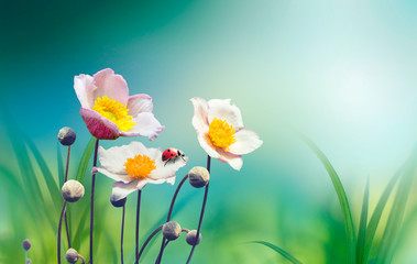 Fototapeta Optyczne powiększenie Beautiful pink flowers anemones fresh spring morning on nature with ladybug on blurred soft blue green background, macro. Spring template, free space.