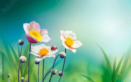 Fotografia, Obraz Beautiful pink flowers anemones fresh spring morning on nature with ladybug on blurred soft blue green background, macro