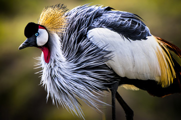 I was lucky to come upon this magnificent Grey Crowned Crane in soft light just before dusk. There was a nice breeze across the Masai Mara which really ruffled her feathers in a wonderful way.