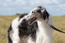 Portrait Of A Borzoi Dog Closeup Outdoors In Summer Background