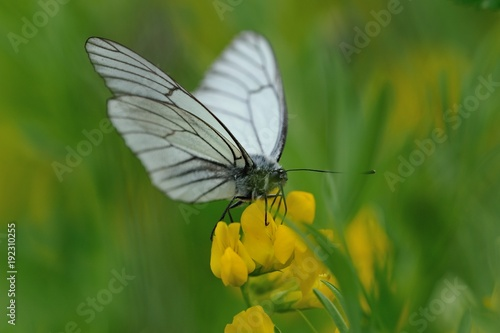 Black-veined white butterfly Canvas Print