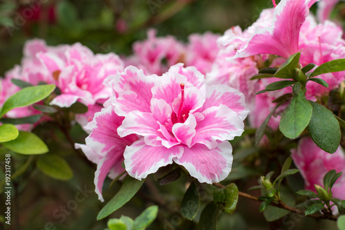 Azalea flower blooming