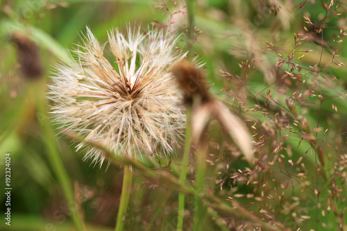 Fotografie, Obraz  A ball of blossomed dandelion with seeds ready to sow.