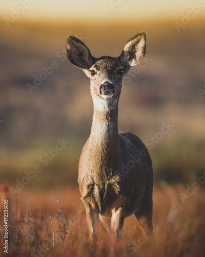 Foto Black-tailed Doe