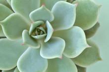 Macro Of Succulent Plant - Echeveria
