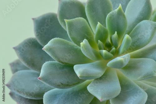 Poster Vegetal Macro of succulent plant - Echeveria
