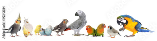 Photo sur Toile Perroquets group of birds