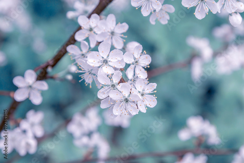 Flower of cherry wood. Wallpaper Mural