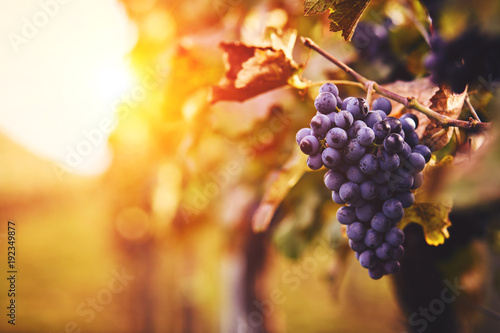 Spoed Fotobehang Wijngaard Blue grapes in a vineyard at sunset, toned image