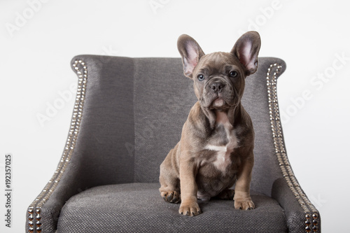 Staande foto Franse bulldog French bulldog puppy on chair