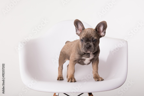 Foto op Canvas Franse bulldog French bulldog puppy on white chair