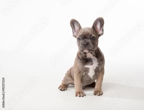 Deurstickers Franse bulldog Cute puppy