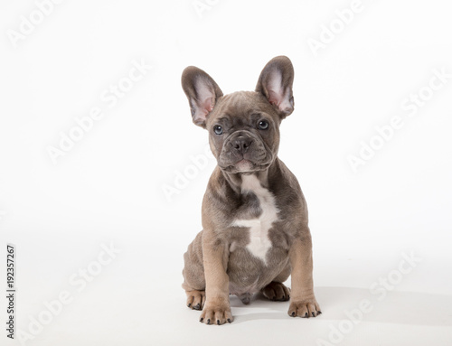 Deurstickers Franse bulldog Cute French Bulldog puppy