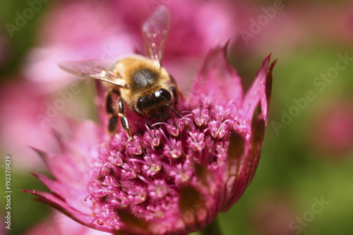 Bee pollinating an astrantia flower Wallpaper Mural