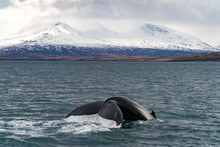 Whale Watching In Front Of Ice...