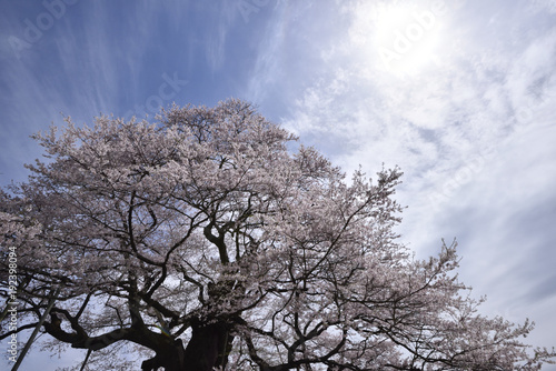 Fotografie, Obraz 天空を仰ぐ醍醐桜5