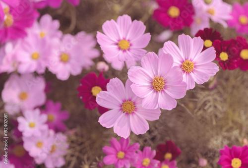 Beautiful pink cosmos flower in garden buy this stock photo and beautiful pink cosmos flower in garden mightylinksfo