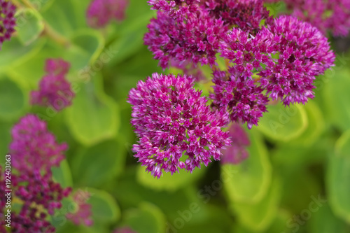 The star shaped pink flowers of hylotelephium spectabile formerly the star shaped pink flowers of hylotelephium spectabile formerly called sedum spectabile close mightylinksfo