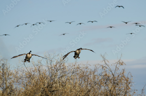 Canada Geese Coming In For Landing in the Wetlands