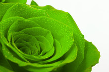 Beautiful Green Roses On A Whi...