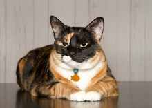 Calico Cat Laying On A Turqois...