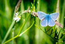 Common Blue On Grass