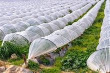 Growing Of Strawberries Under ...