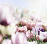 Fototapeta Tulipany - rosa tulpenblüte iin hellem licht