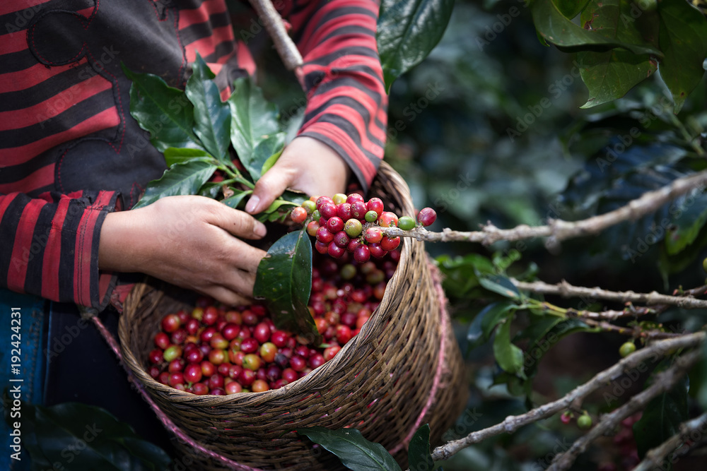 Fototapety, obrazy: Harvest arabica coffee berries on its branch.
