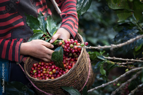 Fotografia  Harvest arabica coffee berries on its branch.
