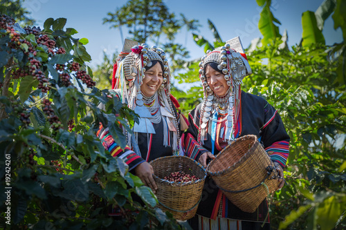 Poster Café en grains Happy woman Akha hill after harvest arabica coffee berries in basket wood at garden.