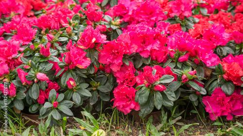 Papiers peints Azalea Red Azalea flower in a garden.