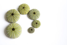 Green Sea Urchin Shells Formin...