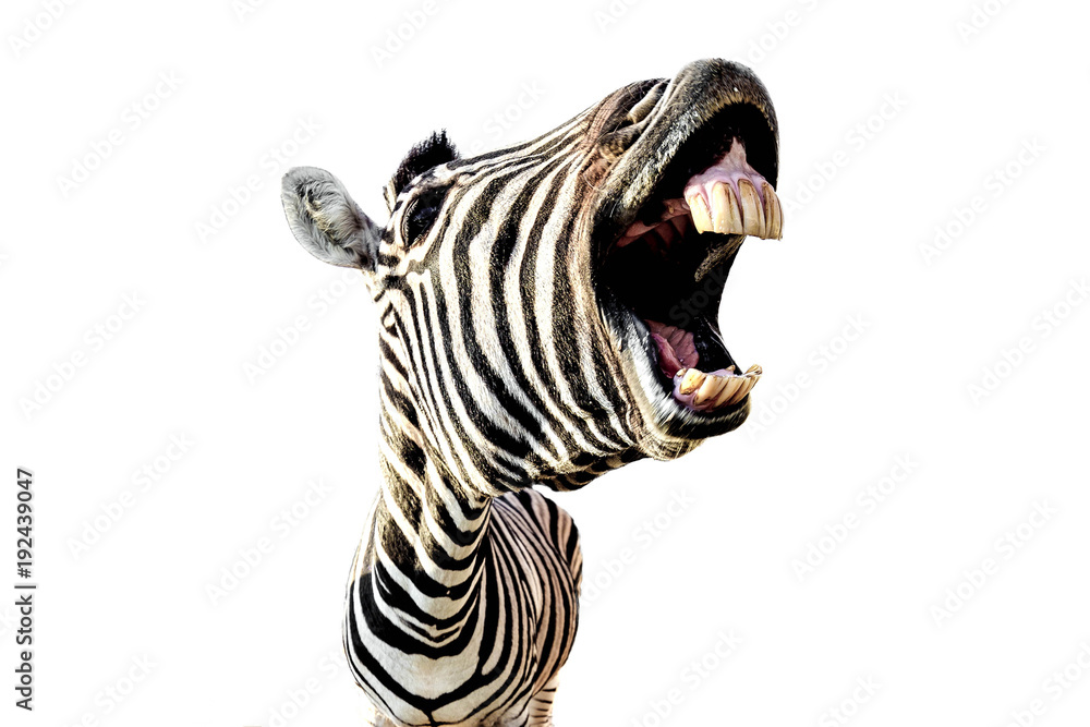 Fototapety, obrazy: zebra with open mouth and big teeth isolated on white background