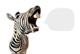 Fototapeta Zebra - zebra with open mouth and big teeth, isolated on white background and with place for text
