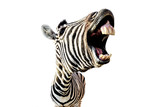 Fototapeta Zebra - zebra with open mouth and big teeth isolated on white background