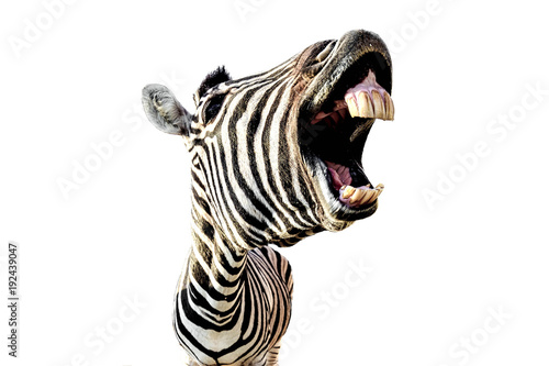 Poster Zebra zebra with open mouth and big teeth isolated on white background