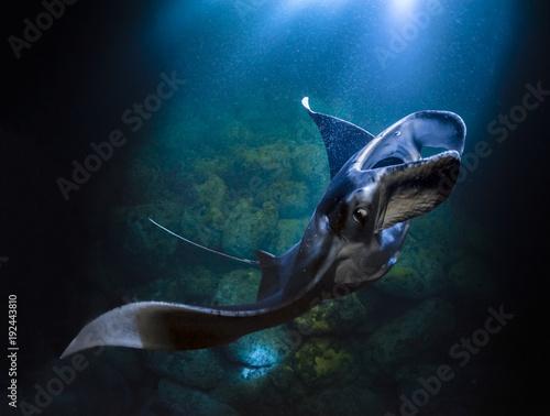Photo Graceful Manta Ray feeding on plankton photographed near Kona on Hawaii's Big Island