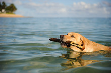 Yellow Labrador Retriever Dog ...