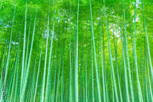 Poster Bambou Bamboo and bamboo forest