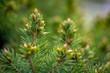 canvas print picture - gruen Tanne knospe im Garten Frueh Lenz Jahr