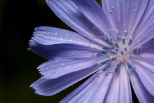 Beautiful Chicory Flower With Drops Of Summer Rain.