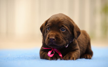 Chocolate Labrador Retriever Puppy Dog With Pink Bow Lying Down On Blue Blanket
