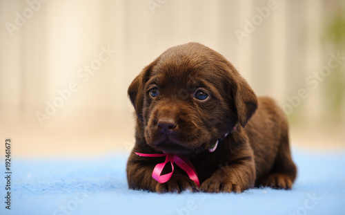 Chocolate Labrador Retriever puppy dog with pink bow lying down on blue blanket Wallpaper Mural